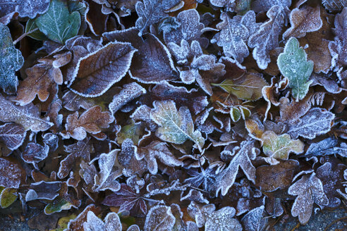 Frost-covered autumn leaves - JTF01151