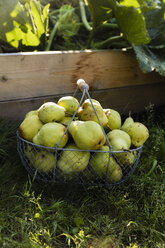 Harvested Williams pears in a wire basket - EVGF03394