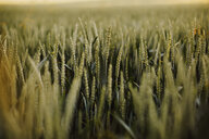 Close-up shot of an agriculture wheat field - INGF09312