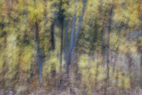 Blurred motion, a forest of aspen trees in autumn, straight white tree trunks, abstract. - MINF09726