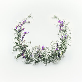 Studio shot of a lavender plant against a white background - INGF10111