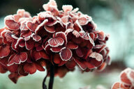 Close up shot of a red plant - INGF10364