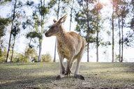 Australia, Brisbane, portrait of kangaroo - GEMF02678
