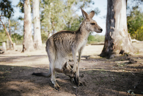 Australia, Brisbane, female kangaroo with baby in pouch - GEMF02687