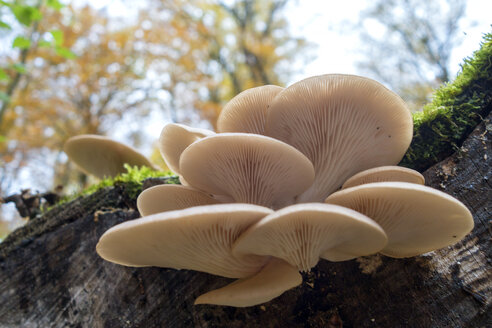 Germany, Bavaria, Oyster Mushrooms on deadwood at Gramschatzer Wald in autumn - NDF00839