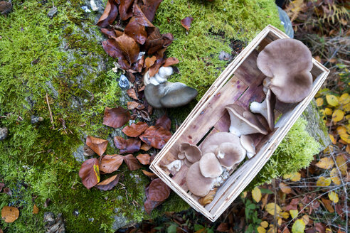 Germany, Bavaria, splint basket with collected Oyster Mushrooms in autumn - NDF00842