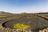 Spain, Canary Islands, Lanzarote, La Geria, viticulture at Volcanic landscape - MABF00511