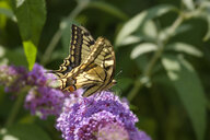 Swallowtail, Papilio machaon, on flower of butterfly bush, Buddleja davidii - SIEF08237