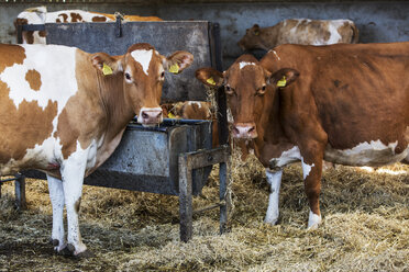 Two Guernsey cows standing in a barn, feeding on hay, looking at camera. - MINF09749