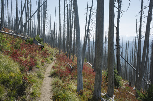 Pacific Crest Trail, the track through fire damaged forest in autumn, near Mount Rainer National Park, Washington - MINF09800