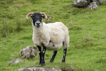 Großbritannien, Schottland, Dalesbred Schaf auf einer Weide - ELF01998
