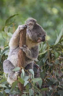 Australia, Brisbane, Lone Pine Koala Sanctuary, portrait of koala clutching tree trunk - RUNF00426