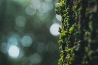 Close up shot of green moss on the bark of a tree - INGF10469