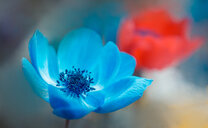 Close-up shot of a blue flower - INGF10636
