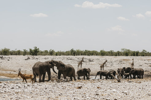 Namibia, Etosha National Park, Elephants, springboks and giraffes at a waterhole - LHPF00198