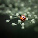 Close-up shot of a ladybug on a flower - INGF10830