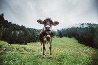 Portrait of a cow in a field - INGF10934