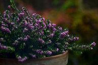Purple flowers blooming outdoors - INGF11087