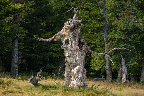 Germany, Bavaria, Lower Bavaria, Schachten near Frauenau, Bavarian Forest, Hochschachten, gnarled tree - LBF02298