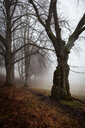 Trees growing in a forest on a foggy day - INGF11210