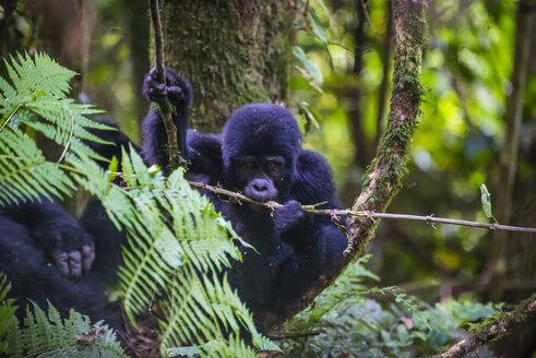 Africa, Uganda, Mountain gorilla, Gorilla beringei beringei, in the Bwindi Impenetrable National Park - RUNF00473