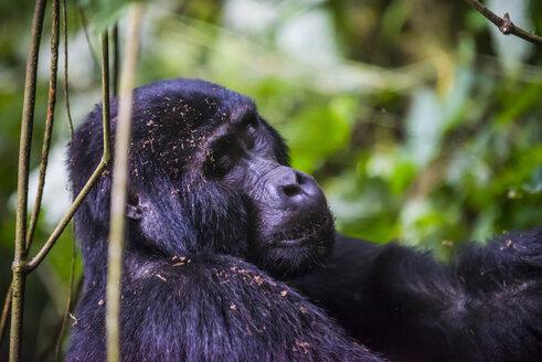 Africa, Uganda, Mountain gorilla, Gorilla beringei beringei, with closed eyes in the Bwindi Impenetrable National Park - RUNF00476