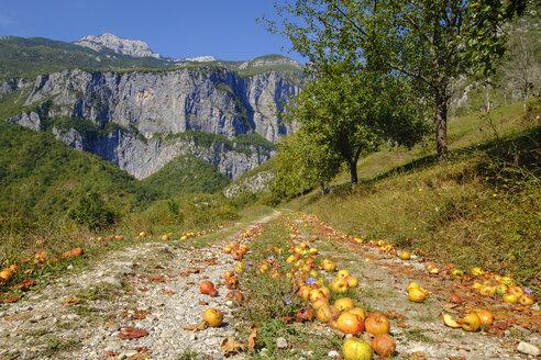 Montenegro, near Kolasin, Mrtvica Canyon, windfall, apples on way - SIEF08245