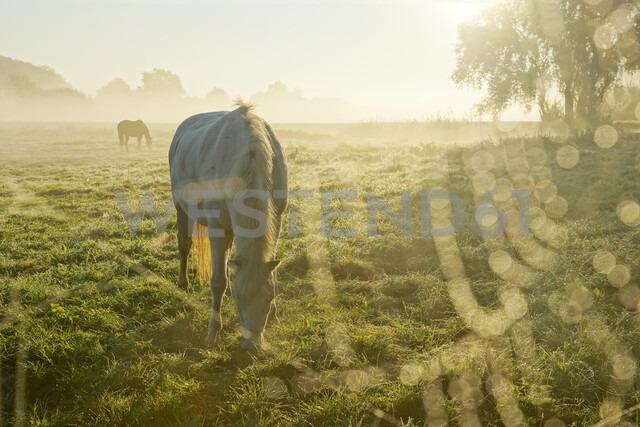 Horses grazing in a field - INGF11295 - Ingram Image/Westend61