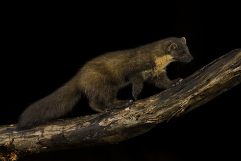 Pine marten on branch against black background - MJOF01625