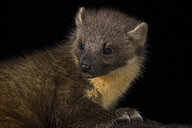 Portrait of pine marten against black background - MJOF01631