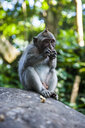ndonesia, Bali, Sacred Monkey Forest, long tailed macaque eating, Macaca fascicularis - RUNF00566