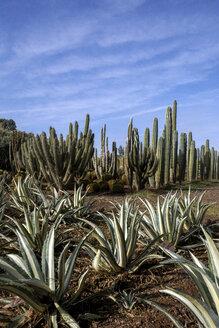 Morocco, Cactuses - LMJF00087