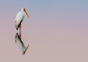 Yellow-billed stork standing on clear water with reflections - INGF11702