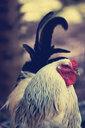 Close-up shot of a chicken - INGF11834