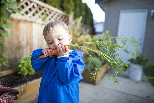 Baby boy eating carrot from vegetable garden - AURF08144