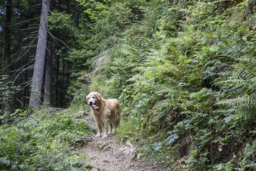 Hund mit Stock in der Schnauze, Golden Retriver, Kaisergebirge, Karspitze, Rettenschöss, Österreich - MAMF00276