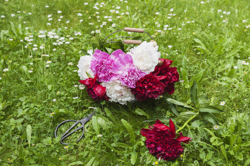 Bunch of peonies in wire basket and scissors on a meadow - GWF05763