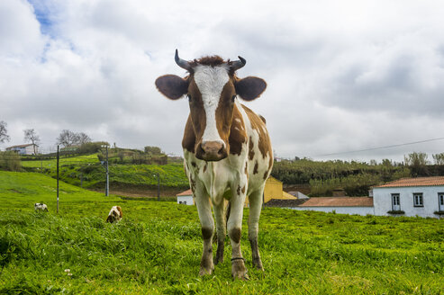 Portugal, Azores, Sao Miguel, Cow on meadow - RUNF00804