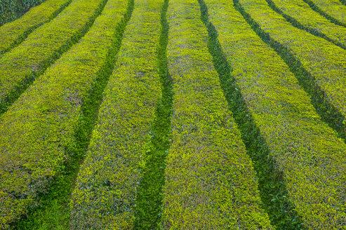 Portugal, Azores, Sao Miguel, Tea plantations - RUNF00810
