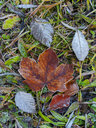 Autumnal maple leaf - WWF04711