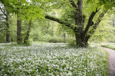 Germany, Ruegen, Putbus, park with blossoming ramson - MAMF00298