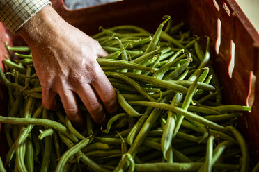 High angle close up of farmer holding bunch of fresh green beans. - MINF09842