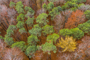 Germany, Baden-Wuerttemberg, Swabian Franconian forest, Aerial view of forest in autumn - STSF01823