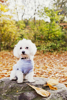 Portrait of Bichon Frise on rock in forest - ASTF01344