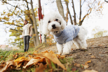Portrait of Bichon Frise in forest - ASTF01347