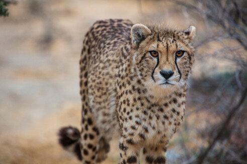 Cheetah (Acinonyx jubatus) - CUF46842