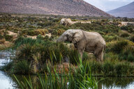 African elephants (Loxodonta) grazing, Touws River, Western Cape, South Africa - CUF46863