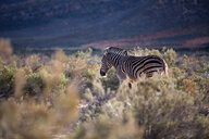Zebra (Equus quagga), Touws River, Western Cape, South Africa - CUF46869