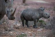 White rhinoceros and calf (Ceratotherium simum), Touws River, Western Cape, South Africa - CUF46875