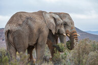 Pair of African elephants (Loxodonta), Touws River, Western Cape, South Africa - CUF46878